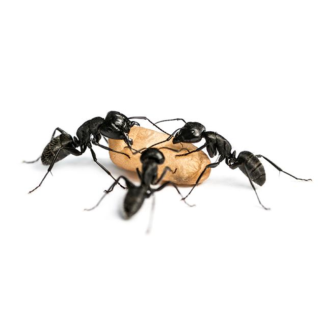 Formigas sobreviverão ao fim da humanidade, diz cientista