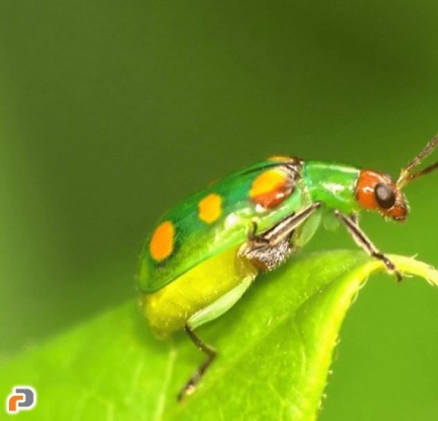 Modelo matemático simula comportamentos de inseto para controlar praga agrícola